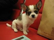 1001 Chihuahua 002
