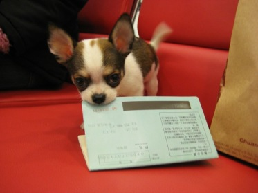 1001 Chihuahua 003