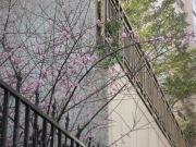 0912 Xindian Cherry Blossom 003