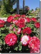 110626 Roses 004