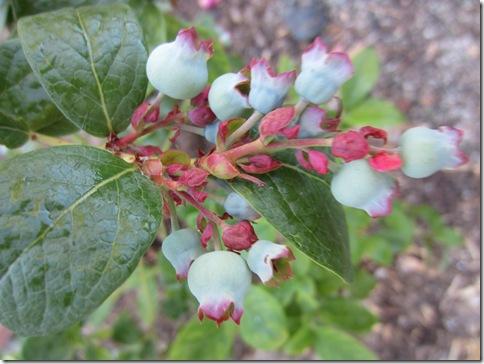 110722 blueberries 007